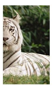 white, Animals, Bengal, Tigers Wallpapers HD / Desktop and ...