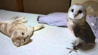 owl cat my barn owl and cat