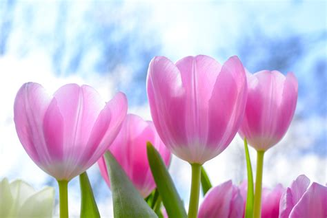 Tulip Flower Image by Pink Tulip Flowers White Clouds Blue Skies At