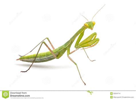 White Praying Mantis