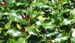 How to Care for Dwarf Holly Bushes | Garden Guides