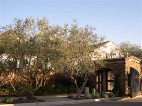 olive wilsonii fruitless olive trees for california landscapes and gardens cse for landscape architects