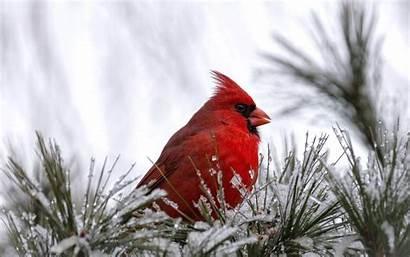 Cardinal Bird Wallpapers Snow Animals