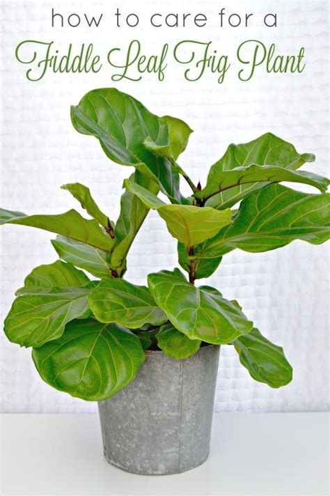 how to care for lilies indoors 25 best ideas about ficus pandurata on pinterest fiddle fig fig leaves and ficus