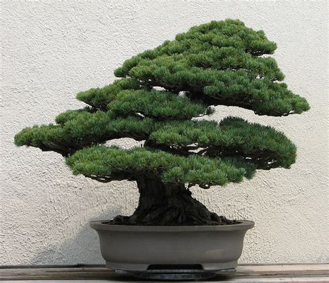 bush in japanese bonsai wikipedia