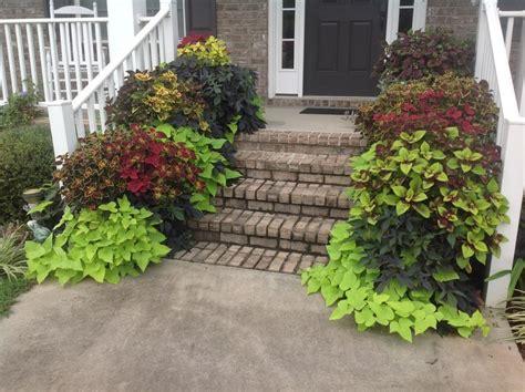 Decorative Potato Plant - harvesting potatoes from ornamental sweet potato vines