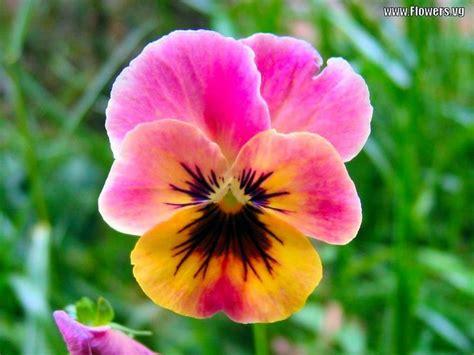 pansy flower pin by nancy gosser on beautiful flowers pinterest