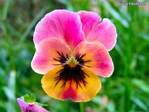 pansy flowers | Pictures of pink & yellow pansy flowers ...