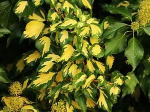 Kletterpflanzen Immergrün Winterhart : gold efeu gelbbunter efeu 39 goldheart 39 hedera helix ~ Michelbontemps.com Haus und Dekorationen