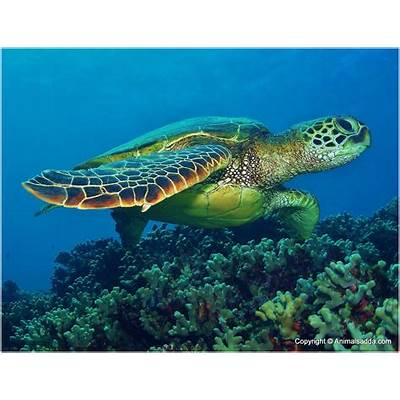 Green Turtle - Facts For Kids Pictures Diet Habitat