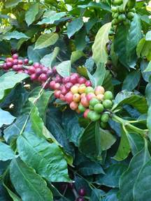 Coffee Bean Plant II is a photograph by Nicki Bennett which was