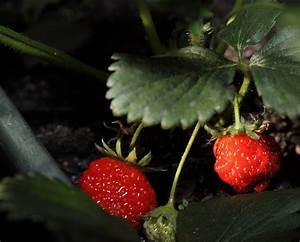 Faire Pousser Des Fraises : fraises choisir des bio ou les faire pousser soi m me observatoire des aliments ~ Melissatoandfro.com Idées de Décoration
