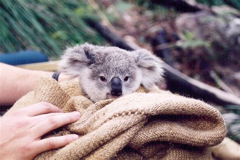 Pity About The Australian Koala!