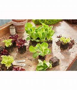 Salat Pflanzen Abstand : kopfsalat lausresistent 12er schale dehner ~ Markanthonyermac.com Haus und Dekorationen
