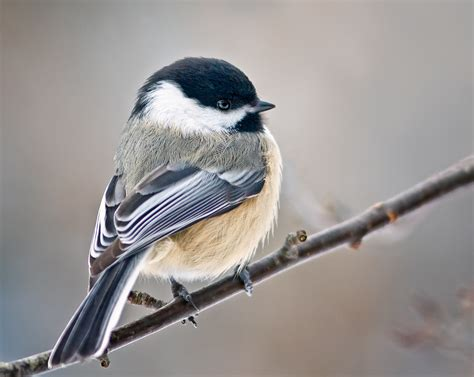black capped chickadees though exposed to the mycoplasma