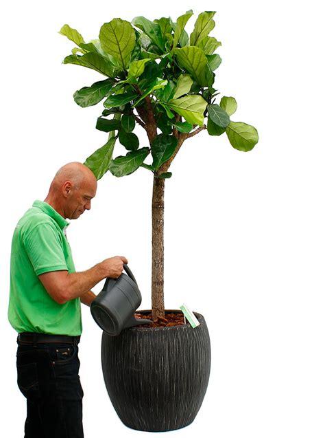 Ficus Pflanze Pflege by Ficus Feige Pflege 123zimmerpflanzen