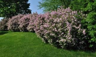 Arbuste De Jardin Decoratif by 8 Arbustes D 233 Coratifs Pour Votre Jardin Trucs Pratiques