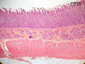 Histology  Digestion Lab  Duodenum