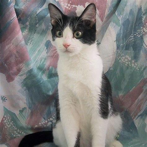 black  white domestic shorthair cat beach koa