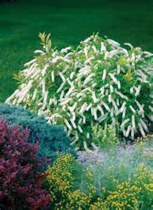 best shrubs for small gardens top ten shrubs for containers and small gardens proven winners