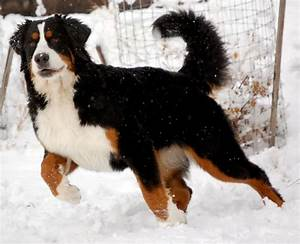 17 Best images about Bernese Mountain Dogs on Pinterest ...