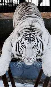 17 Best images about White Siberian Tigers on Pinterest ...