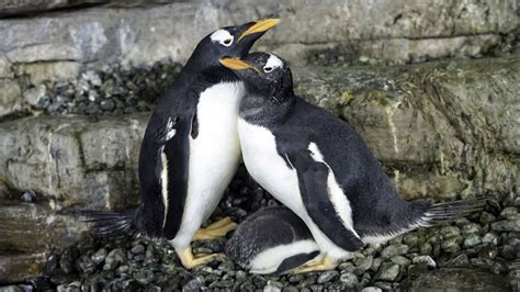 Same Sex Penguin Couple Become First Time Moms