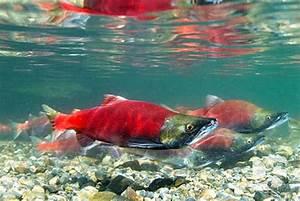 Amazing Alaskan Salmon! - The Alaska Life