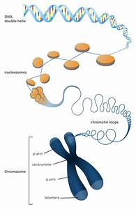 Diagram Of Chromatin : what is a chromosome dna project dna replication dna ~ A.2002-acura-tl-radio.info Haus und Dekorationen