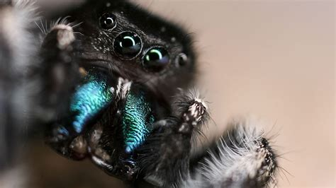 video   ears jumping spiders  hear