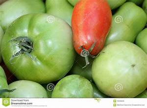 Red And Green Tomatoes Royalty Free Stock Photo - Image ...
