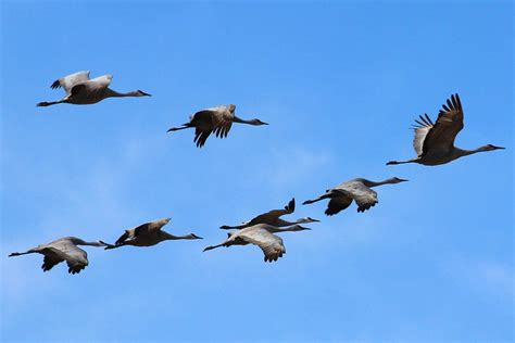 why do birds migrate bird migration