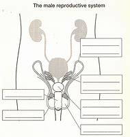 Female reproductive system diagram blank 33251 loadtve female reproductive system diagram blank ccuart