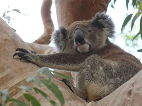 New Koala Corridors Coming To Salamander Bay  Whats On In Our Backyard  Port Stephens