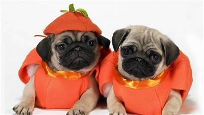 Pugs Puppies Dogs Pug Puppy Wallpapers4u Latest