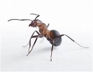 Ameisen Bekämpfen Wohnung : ameisen bek mpfen was hilft gegen ameisen in der wohnung ~ Michelbontemps.com Haus und Dekorationen