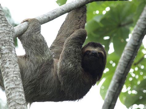 Sloth Wallpaper 3200x2400 56350 Wallpaperup