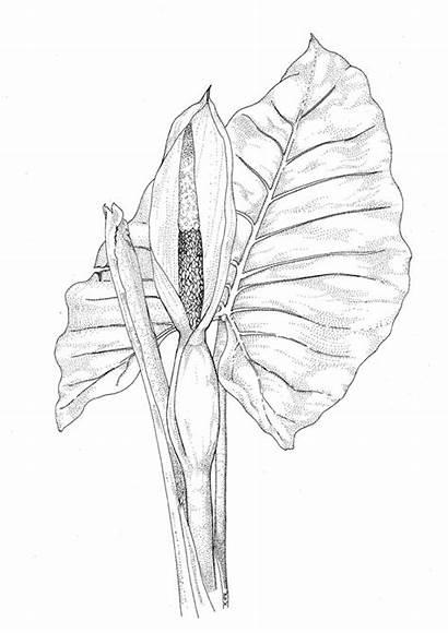 Alocasia Plants Plant Coloring Macrorhiza Pages Poisonous