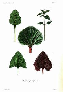 Vegetable Botanical Illustration | www.imgkid.com - The ...