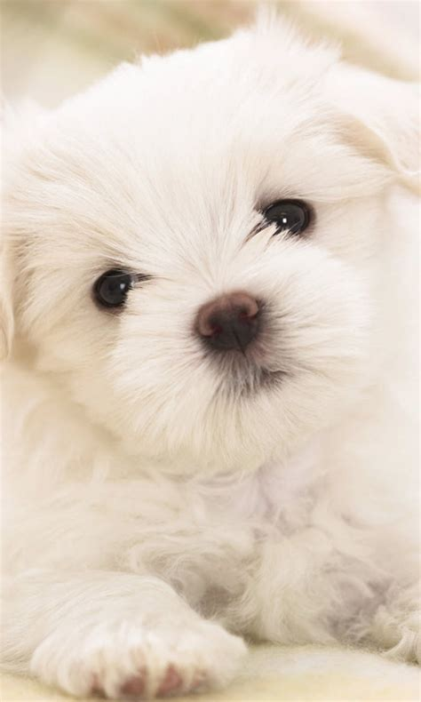 maltese puppy cute white hd dog wallpaper