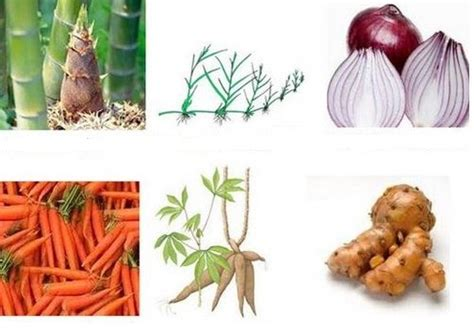 contoh perkembangbiakan vegetatif alami buatan tumbuhan