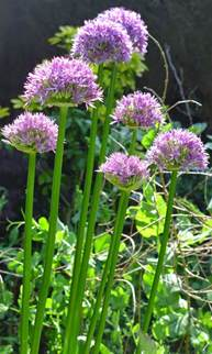 basicallyitsgrowing planting allium bulbs