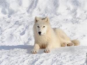 Bébé Loup Blanc : dessins en couleurs imprimer loup num ro 20752 ~ Farleysfitness.com Idées de Décoration