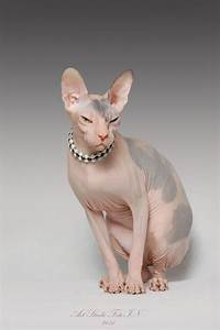 sphynx cat accessories accessories for cats