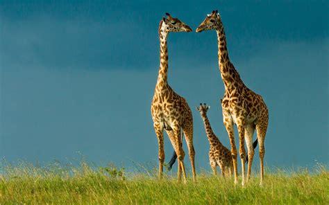 Animal Wallpapers Hd Widescreen - giraffe wallpaper free hd widescreen