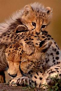 Baby Cheetah Nuzzles Mum As Adorable Pictures Show Special