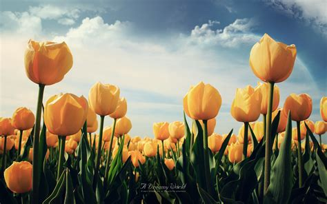 yellow tulips wallpapers hd wallpapers id