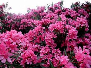 Digital World Pages Archive  Oleander Flowers Pinkish