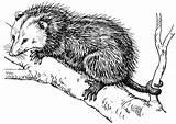 Opossum Galleryhip sketch template
