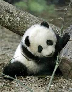 Panda bear cubs or polar bear cubs? Poll Results - Animals ...